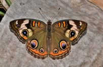 bug-butterfly-close-up-158048